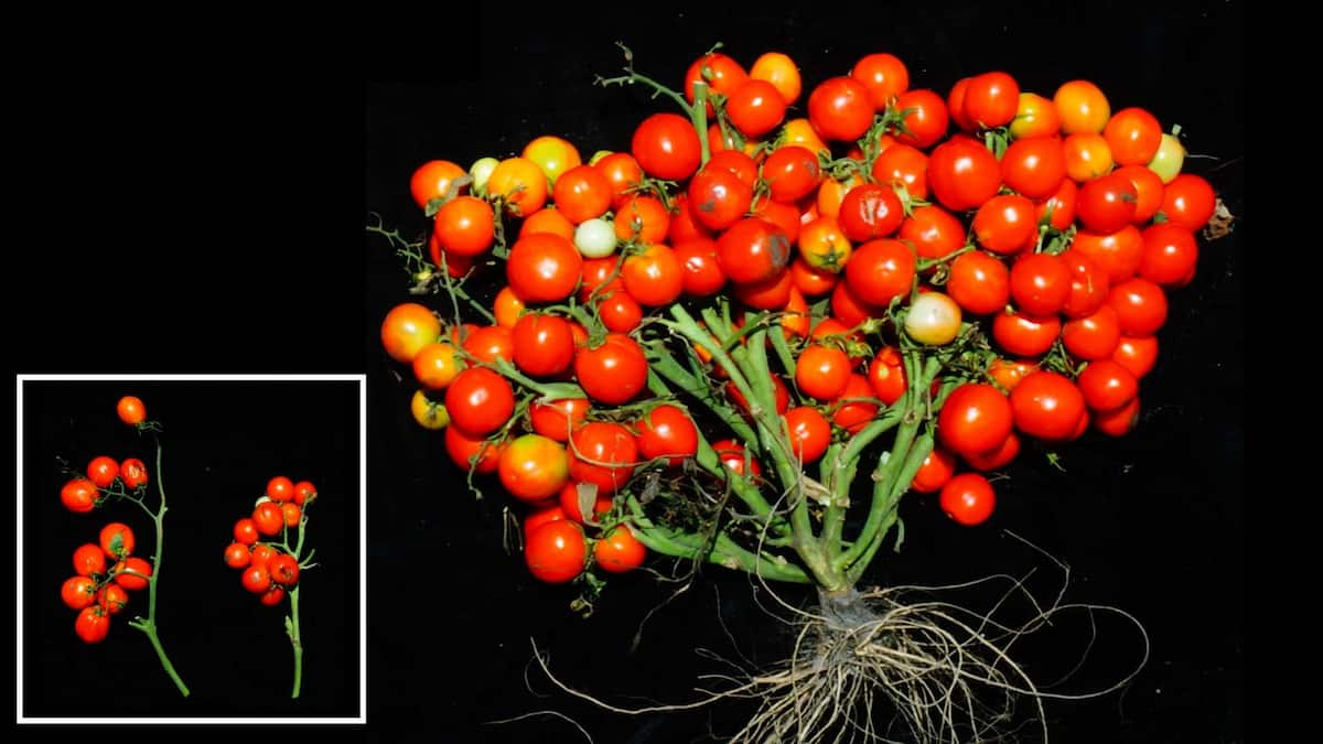 Mutant green tomatoes show researchers key to tougher crops